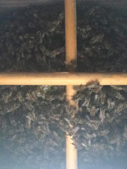 日本蜜蜂20180416