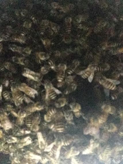 日本蜜蜂20180423